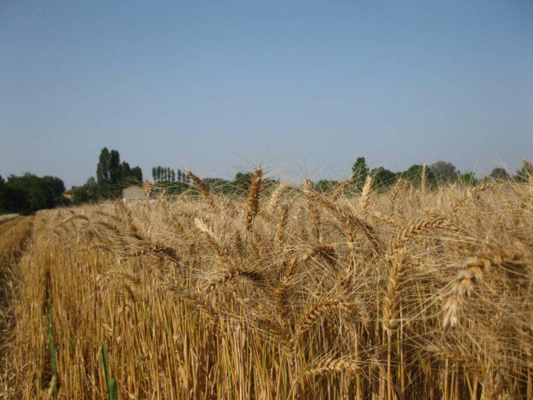 Anche quest'anno abbiamo avuto il grano.